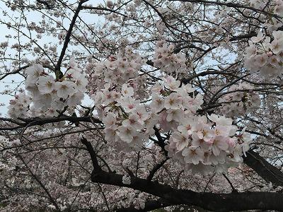 桜 アップ.jpg
