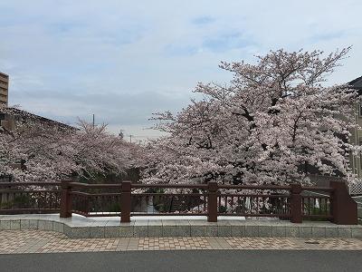 桜 全体像.jpg